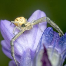 Crab-spider-for-contest-220x220