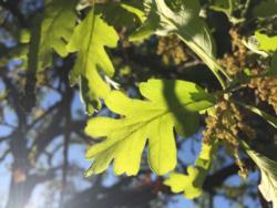 Oak leafing out