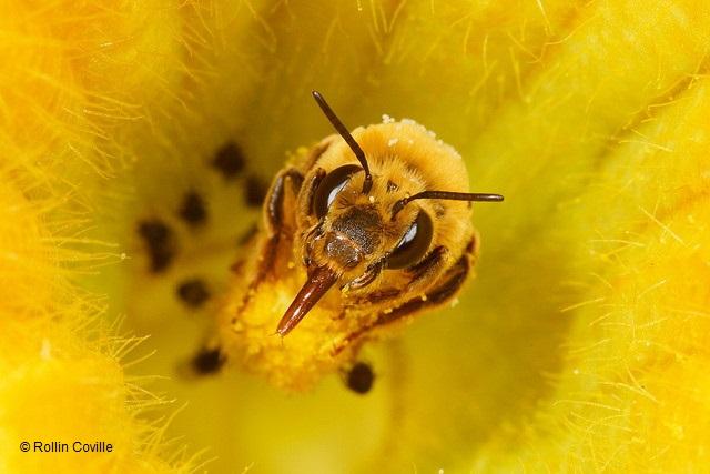 Native_Bee-Peponapis_pruinosa-Rollin_Coville COPYRIGHT