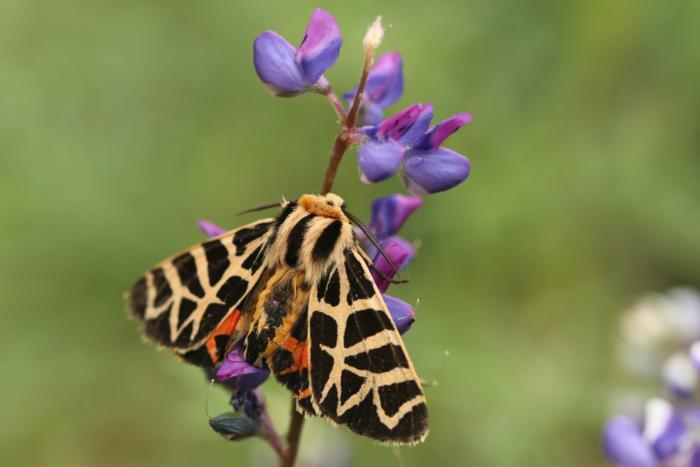 Tiger moth on lupine Prakrit Jain